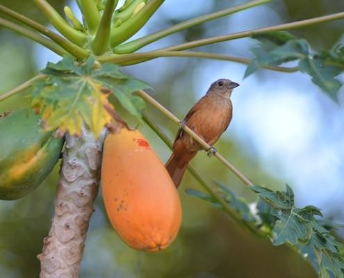 papaya-zenjenskin