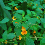 Jewelweed remedies for itchy skin