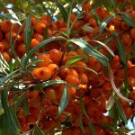benefits- of-sea buckthorn- in -skincare